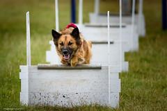 DSC_4018 (TDG-77) Tags: dog pet dogs animal nikon running d750 nikkor f28 flyball chasing 70200mm unleashed vrii