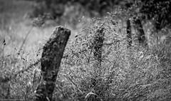 Depth of Field (bernd obervossbeck) Tags: blackandwhite bw grass fence dof depthoffield gras schwarzweiss zaun schrfentiefe arpe sauerland grser tiefenschrfe schwarzweis berndobervossbeck fujixt1