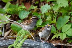White-throated Sparrow, La Manche Park (frank.king2014) Tags: ca canada whitethroatedsparrow torscove newfoundlandandlabrador