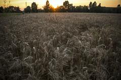 L'ora del tramonto II (Valentina Conte) Tags: ears spighe grano cereali wheat field campo sunset seasunclouds tramonto nature beauty red yellow padova veneto golden hour canon100d rebelsl1 valentinaconte hdr