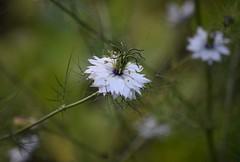 Nigella Damascena ~Love-In-A-Mist~ (careth@2012) Tags: flower nikon britishcolumbia loveinamist nigelladamascena 55300mm nikond3300 d3300