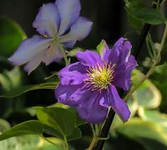 Clematis Flower (mahar15) Tags: flowers plant flower nature outdoors petals purple clematis vine bloom blooms purpleflowers clematisvine clematisbloom