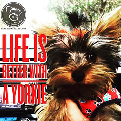 So so so much better!!! (itsayorkielife) Tags: yorkiememe yorkie yorkshireterrier quote