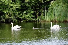 Guarding the off-spring. (pstone646) Tags: lake nature birds animals parents kent wildlife cygnet swans