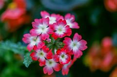 Red & White Verbena (Martin Smith - Having the Time of my Life) Tags: flowers blur macro blurry dof bokeh nikonf100 35mmfilm filmcamera filmgrain verbena asa400 nikkor50mmf14d bokehlicious fujifilmfujicolorsuperiaxtra400 redwhiteverbena