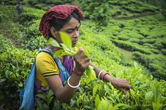 Srimangal-6236 (BohemianTraveler) Tags: asia tea bangladesh srimangal srimongol sreemangal