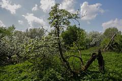 Abandoned garden in spring-1 (algimantas_tirlikas) Tags: chimney tree landscape spring may pipeline rafinery