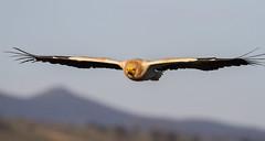 El vuelo del Sabio (chuscordeiro) Tags: espaa naturaleza color animal fauna canon ave cielo 7d pluma vulture pajaro turismo buitre vuelo egypcian 400mm sabio ornitologia alimoche torilejo