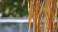 Rapunzel (Theen ...) Tags: adelaide blonde bokeh dead fence foliage frond golden green hair long lumix palm rapunzel shallowdof theen tree trees wall