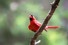 Cardinal 2016 23 (Jim Dollar) Tags: sc birds cardinal southcarolina zenglen indianland jimdollar canon6d scenesfrommyhammock