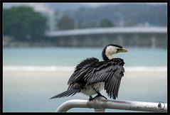 Cormorant (Emma White ( ... somewhere ... )) Tags: bird birds newcastle nikon photographer wildlife nsw cormorant shag phalacrocoracidae forstertuncurry emmawhite