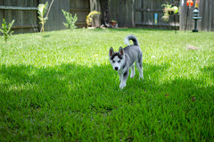Walking around (hyunkyun) Tags: dog puppy backyard nikon husky texas siberian kingwood