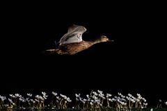 _F0A2889.jpg (Kico Lopez) Tags: birds rio spain aves galicia lugo mio anasplatyrhynchos anadeazulon