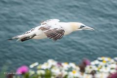 Gannet at Bempton Cliffs D50_1706.jpg (Mobile Lynn) Tags: wild england bird nature birds fauna unitedkingdom wildlife waterbird gb shag waterbirds gannet pelecaniformes bempton