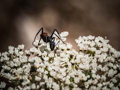 Adicta al nctar (Luicabe) Tags: naturaleza planta animal exterior ngc flor luis zamora cabello hormiga insecto hierba profundidaddecampo airelibre fido macrofotografia yarat1 enazamorado luicabe