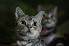 cat #1319 (K-nekoTR) Tags: pet cute beautiful animal japan cat japanese pretty sony americanshorthair kitty