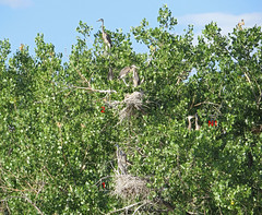 Heron Rookery Status Report for July 5, 2016 at Metzger Farm Open Space, Colorado (nature80020) Tags: bird nature colorado wildlife owl rookery greathornedowl herons nests incubation greatblueherons statusreport metzgerfarmopenspace owlinheronrookery