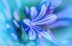 Blue Summer dreams (frederic.gombert) Tags: flowers blue light summer sun sunlight plant flower color macro colors garden spring nikon bloom d810 macrodreams