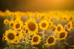 Sunflower fields (Matt Williams Gallery) Tags: flowers light sun sunlight flower nature field landscape golden nikon glow northcarolina naturallight sunflower fineartphotography naturephotography landscapephotography d7100 northcarolinaphotographer mattwilliamsphotography