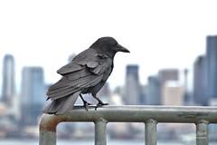 Alki Point - Seattle, Washington (James Milstid) Tags: seattle critter crow corvid alkipoint