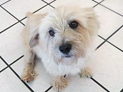 Lucky Luciano. (Silas_Xavier) Tags: dog white black texture kitchen lines tile fur eyes beige small paws cairnterrier snout