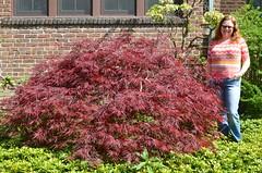 Japanese Maple, Spring 2016 (Joe Shlabotnik) Tags: april2016 justsue 2016 home sue japanesemaple afsdxnikkor35mmf18g faved zeroviewsonefave