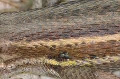 Scales and colours [Explored Jul 7, 2016 #167] (Tam & Sam) Tags: macro closeup spring spain nikon reptile may catalonia lizard 2016 bytam