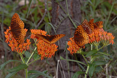 Butterfly Weed-Fritillaries (NatureNM) Tags: asclepiastuberosa butterflyweed fritillaries