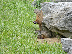 Ground Hog Family 3 (Photo Squirrel) Tags: family baby grass rock mammal other woodchuck groundhog brunswickmd whistlepig marmotamonax