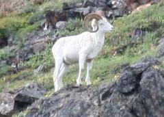 Dall Sheep Healy Mtn Denali NP (JeffChabot) Tags: dall sheep