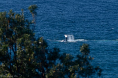 Slap Happy (cmayart88) Tags: trip blue sea baby water swimming back hit tail australia sealife whale humpback calf smack byronbay mamal finwave