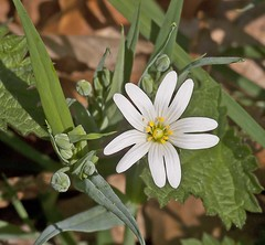 Stellaria holostea - Grosse Sternmiere (Karl Hauser) Tags: flowers flower germany deutschland flora pflanzen wildflowers stellaria stellariaholostea holostea kniebiskarle