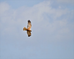 Marsh Harrier - In Flight (alone68) Tags: nature canon wildlife stodmarsh nnr marshharrier