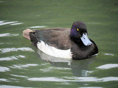 Tufted Duck (Kate M Gray) Tags: london duck wetlands tufted barnes wwt kategray panasonicgh3