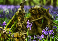 A fine thread (Through Bri`s Lens) Tags: flower tree rotting bluebells spring wildflower fallentree boggy sigma1770 canon7d
