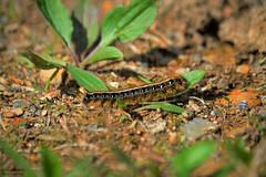 Caterpillar (KyleCameroPhotography) Tags: woods nikon wildlife pa jacobsburg d3200 catrpillar