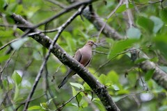 Male Mourning Dove (shutterbusterbob) Tags: blue trees wild brown tree bird canon washington wildlife sigma limbs washingtonstate limb canoneos skagitvalley skagitcounty sedrowoolley rebelxti