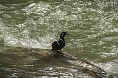 """Harlequin Duck male • <a style=""""font-size:0.8em;"""" href=""""http://www.flickr.com/photos/63501323@N07/8733274733/"""" target=""""_blank"""">View on Flickr</a>"""