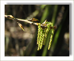 Spring... ( Annieta  Off / On) Tags: holland primavera nature netherlands canon spring nederland natuur powershot april catkin lente printemps allrightsreserved katjes krimpenerwaard cherryontop 2013 annieta bej usingthisphotowithoutpermissionisillegal sx30is