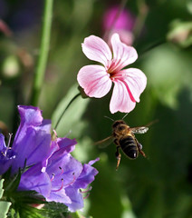 Macro con el Canon 300 f4 L IS (vic_206) Tags: flower macro insect flor bee abeja insecto canon300f4lis canoneos7d