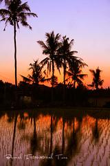 Bali Rice Field, Coconut Trees Sunset (Bewish Bali) Tags: sunset people bali panorama field island travels village rice country vacations balinese