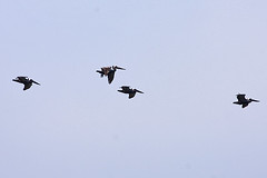 015008-IMG_5186 Brown Pelicans (Pelecanus occidentalis) (ajmatthehiddenhouse) Tags: california usa bird brownpelican occidentalis pelecanus pelecanusoccidentalis 2013