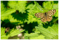 Speckled Wood Butterfly. (vegetus aer) Tags: butterfly cambridgeshire speckledwood wildlifetrust woodwaltonfen nnr greatfen greatfenproject bcnwildlifetrust