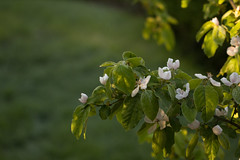 01Quince (Annette - A Simple Breath) Tags: homeandgarden
