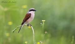 Red-backed Shrike  () Tags: male birds al bin sultan 12 qatar shrike redbacked   qatarbirds aseeri binsultan lesnafi