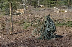 That's where Christmas trees are going (SchweDan) Tags: forest christmastree fir wald tannenbaum tanne aufforsten