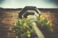 Drainpipe in bloom 20/52 (Nick P Lee) Tags: flowers flower nature nikon power nick may lee drainpipe lightroom 2052 justaposition 2013 d7000