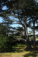 Huge and long limbed, like an ent, Monterey Cypress, you keep expecting them to talk to you, or walk along the path, Asilomar Conference Grounds, state park, Pacific Grove, California, USA (Wonderlane) Tags: california statepark usa monterey long you talk huge keep cypress them pacificgrove montereycypress expecting entity limbed 9496 asilomarconferencegrounds hugeandlonglimbed hugeandlong likeanent youkeepexpectingthemtotalktoyou orwalkalongthepath