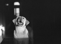 Hope in the darkest of days (macromary) Tags: leica blackandwhite bw dog white black eye film tongue analog 35mm vintage nose blackwhite lab pretty labrador yellowlab dof florida availablelight naturallight retriever depthoffield vintagecamera labradorretriever manual filmcamera ilford leicaflex oldglass leitz vintagelens hypoluxo mechanicalcamera