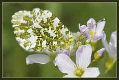 Orange Tip (f) (Full Moon Images) Tags: wood orange macro nature female butterfly insect wildlife reserve tip national monks cambridgeshire nnr